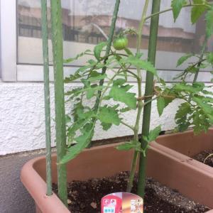 軒下トマト栽培~引っ越ししました~