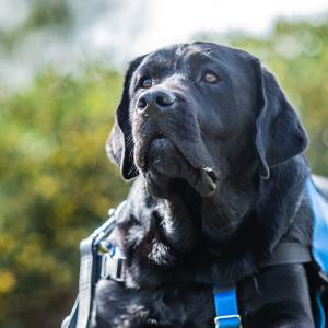 【PTSD介助犬】パートナー宅でお泊り練習中につき