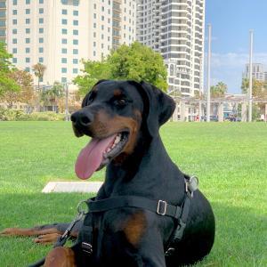 【パピトレ】音に敏感な犬♪ 犬の『感覚過敏』を予防する遊びをしよう!