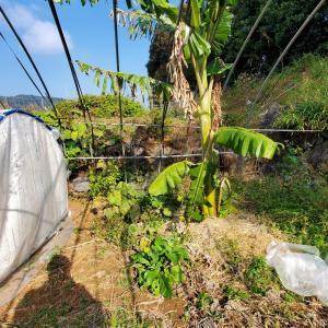 キウイの植え付けと冬のアイスクリームバナナ、ネズミ取りの捕獲結果その他。