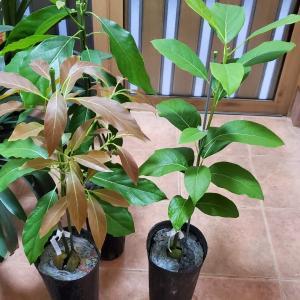 新しいアボカド苗木が届いた