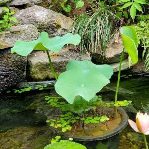 どうもまだイカリ虫が庭池にいるようで…&イチョウ芋のその後