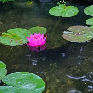 大雨の中咲いた睡蓮と生き残った金魚の稚魚
