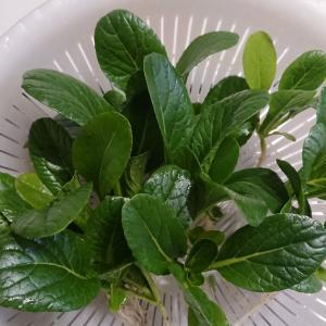 小松菜収穫2