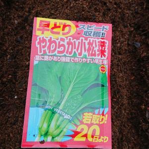 小松菜  栽培