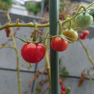 ミニトマト  つやぷるん  収穫