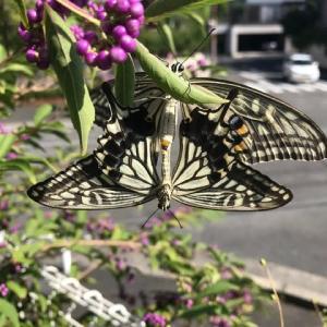 庭にアゲハ蝶のつがい 庭の秋