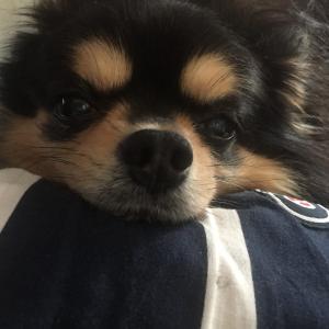 チワワブログ♡【犬のあごのせ】癒し