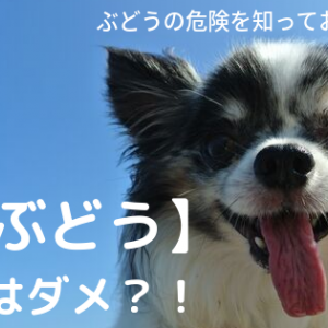 【ぶどう】犬は少量もダメ!教えて欲しい愛犬が食べちゃったときは?