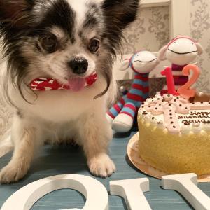 アクア♡チワワ12歳お誕生日