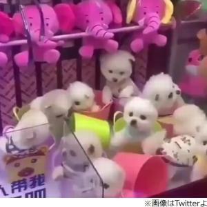 本物の犬でUFOキャッチャー。中国ゲームセンターにて動物虐待。