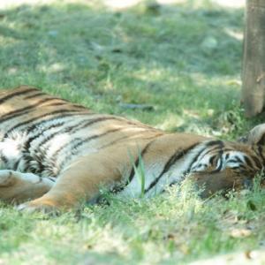 2300頭以上のトラが殺され密売。ベトナムにて冷凍されたトラ7頭発見容疑者逮捕。