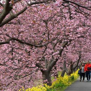 桜を求めて'20<2> 南伊豆町 (2月2日'20)