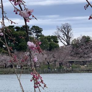 桜を求めて'20<12>洗足池公園 (3月27日'20)