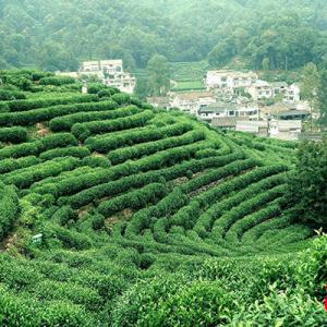 中国で最も飲まれているお茶の故郷へ。高級茶を求めて龍井村に行こう!