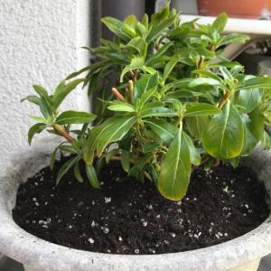 日々草の育て方(8)冬越し成功後の切り戻し方法