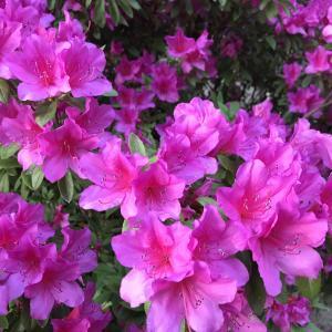 ツツジ(躑躅)の種類とサツキ(五月)とシャクナゲ(石楠花)の関係性
