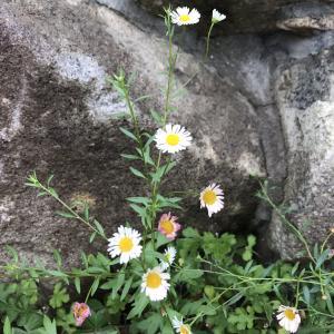 ペラペラヨメナは源平色|ハルジオン・ヒメジョオンでもない2色の草花