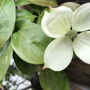 ハナミズキに似た初夏の白い花|ヤマボウシ(山法師)はシンボルツリー