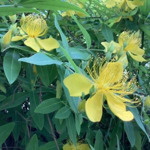 キンシバイ・ビヨウヤナギ|初夏の山吹色の花4種類の見分け方