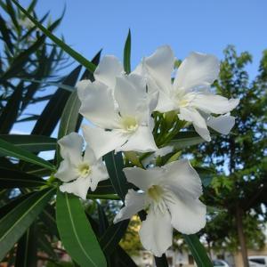 夾竹桃|復興と希望のシンボルの街路樹、でも毒性には気を付けて