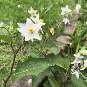 茄子色の可愛い花にはトゲがある|ワルナスビは最強の侵略的外来種?
