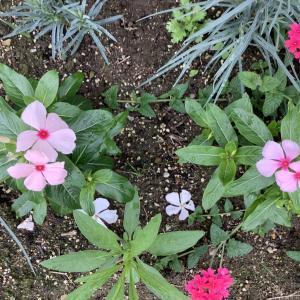 日々草の育て方(9)2年目|冬越しと種まきの成長比較記録