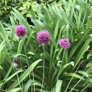 センニチコウ(千日紅)|アザミ色の千日間咲く花、別名に迷わないで