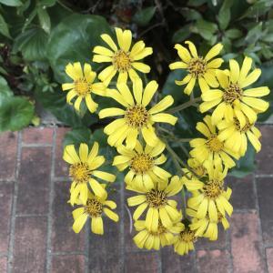 晩秋~冬さんぽで見かける黄色の野草|ツワブキ(石蕗)