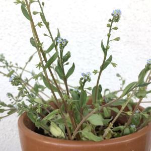 勿忘草(ワスレナグサ)に似た小さな青の草花|胡瓜草(キュウリグサ)の花言葉