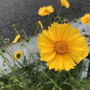 キバナコスモスに似た初夏の道路脇の黄色の花の正体