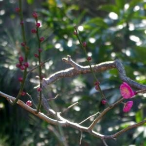 梅の花のようなあなたに捧げます・・・The Rutles