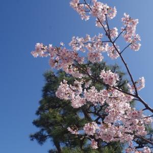 見ごろの玉縄桜と幡髄院長兵衛・・・ Marcin Patrzalek