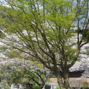 桜で綴る日本人の真実・・・Squire/James Brown