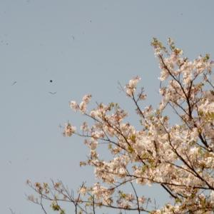 散る桜・・・Les Papyvores