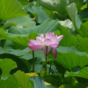 蓮の花とディマシュ・クダイベルゲン