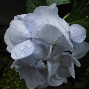 紫陽花をつまみに飲むソウル・・・・Barbara West