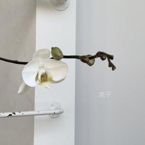 落ち込む私を励ましてくれたのか。胡蝶蘭二度咲き!