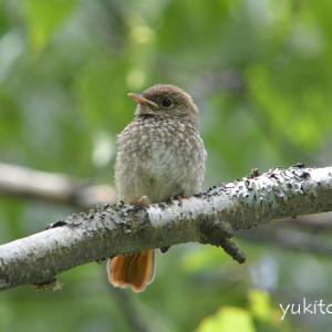 ジョウビタキ幼鳥(巣立ち雛)
