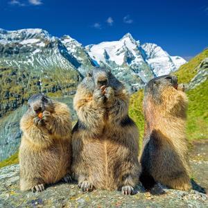 「野生動物写真家大賞」チベットスナギツネのギラツキ感とマーモットのビビリ具合