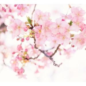シドニーで花見!シドニー桜まつり 2019 に行ってきた感想や注意点