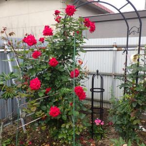 「小さな薔薇園」我が家の庭の花が満開ですよ。((∩^Д^∩))