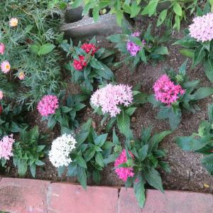 「ペンタス」&「金魚草」&「ウエッジウッドブルーの花」・・・