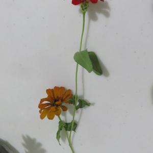 一つの茎から「色違いの花」が咲いてました・・・・