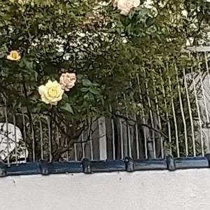 「愛子様生誕記念」に植樹された「我が家の桜」を観に行った友人・・・