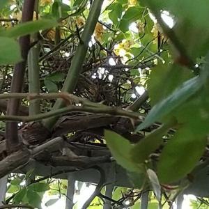 キジバト、「巣」を作り始めたけど・・・