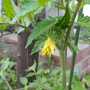 初めて見た「トマトの花」!&「庭の花」・・・