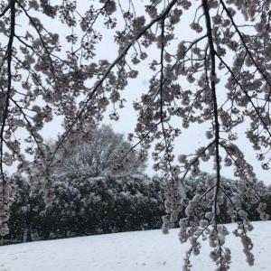 錯覚・・・・・・・・桜と雪のコラボ