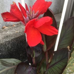 カンナの花が咲きました