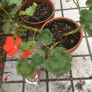 種から育てたゼラニウムと挿し芽をしたラベンダーを移植しました